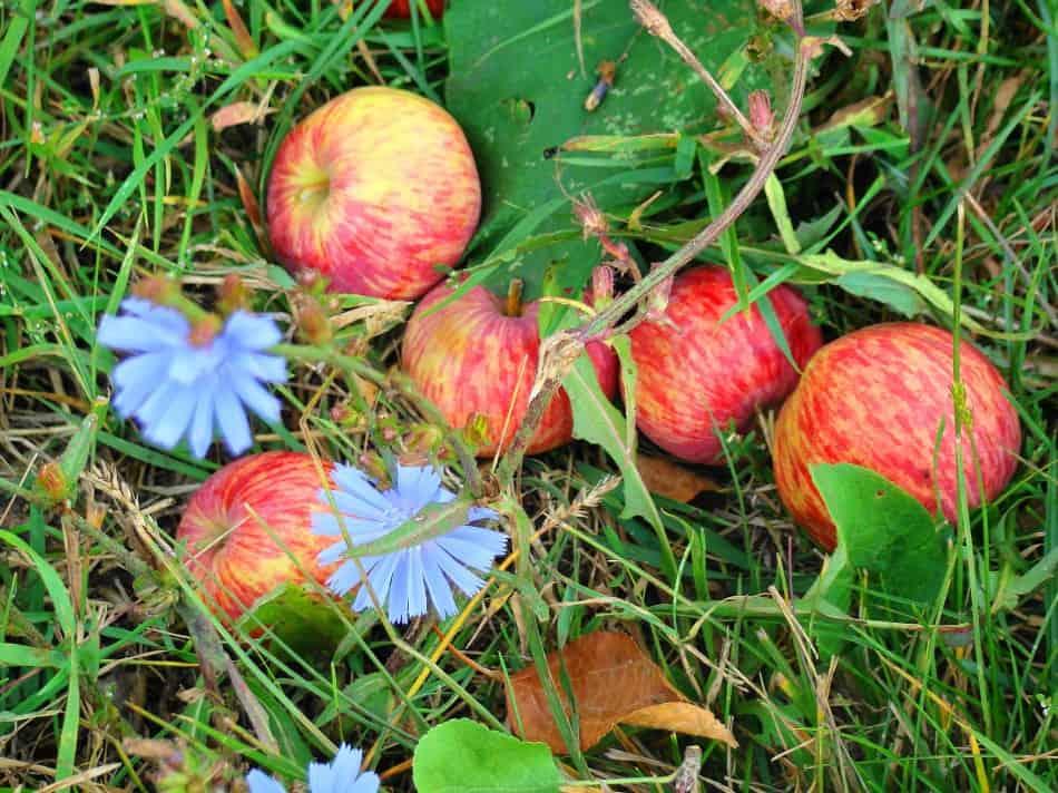 Эти яблоки ждали меня в родовом пензенском селе Ртищево