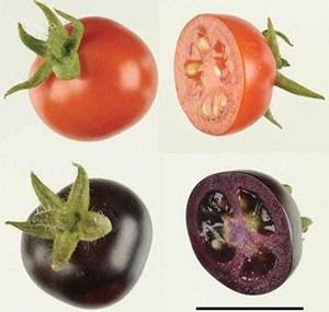 Фиолетовые помидоры