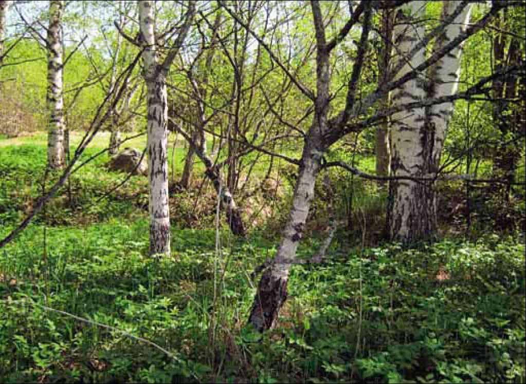 Карельская береза – загадочное дерево Севера