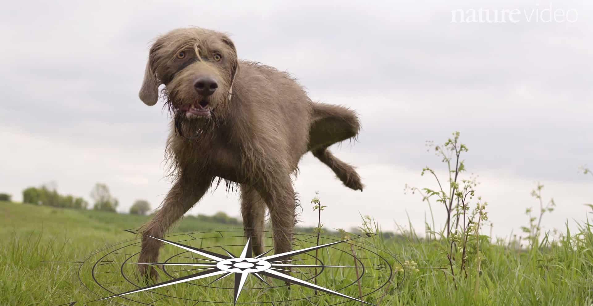 собаки-компасы