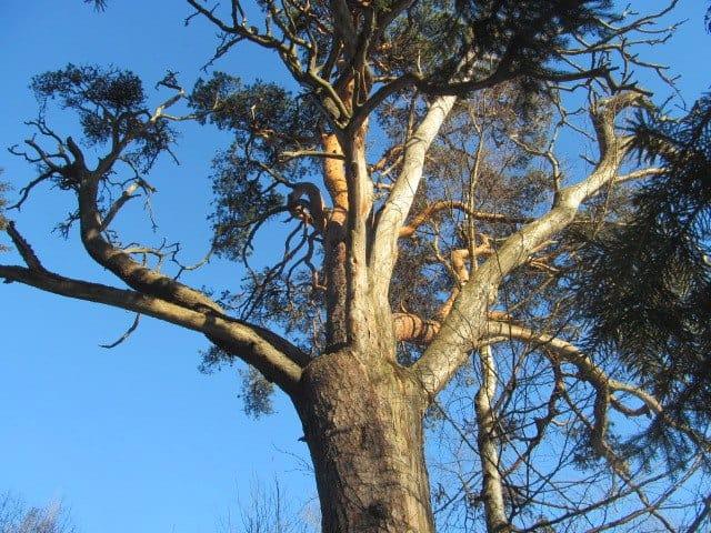 На Яккимской горе украсят сосну «Живое древо Кантелетар»