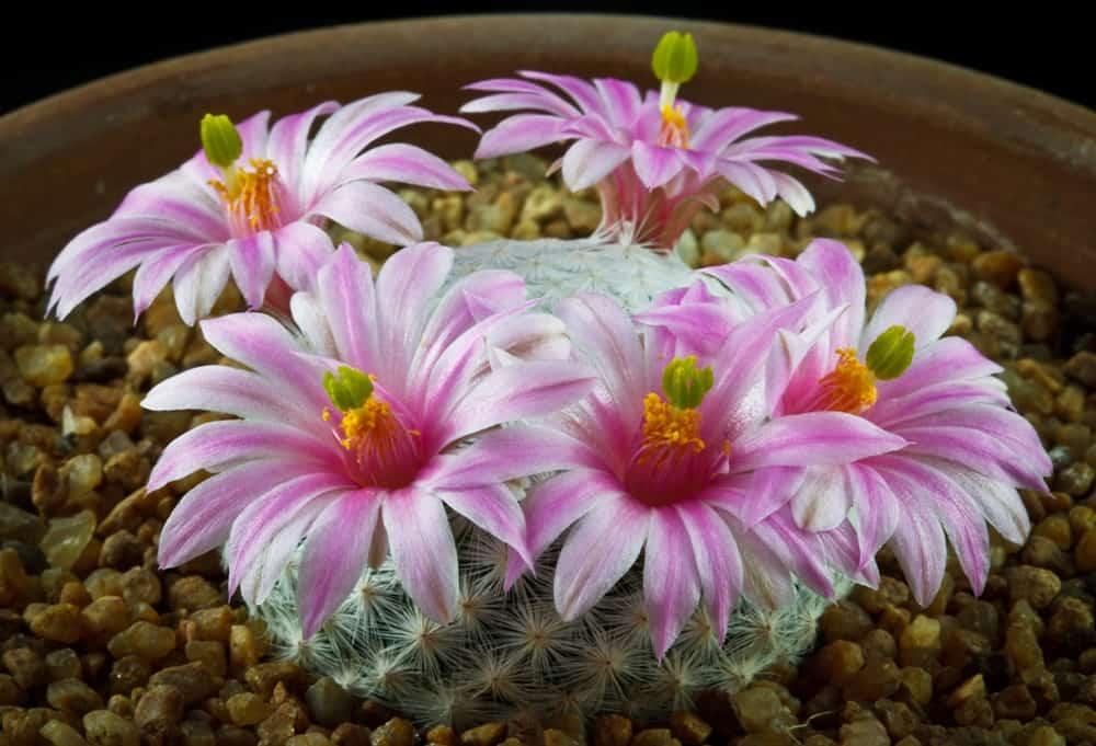 Mammillaria-herrerae