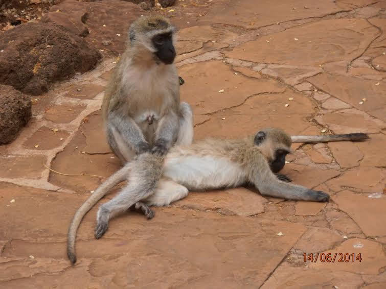 Кения. Амбосели. Обезьяны