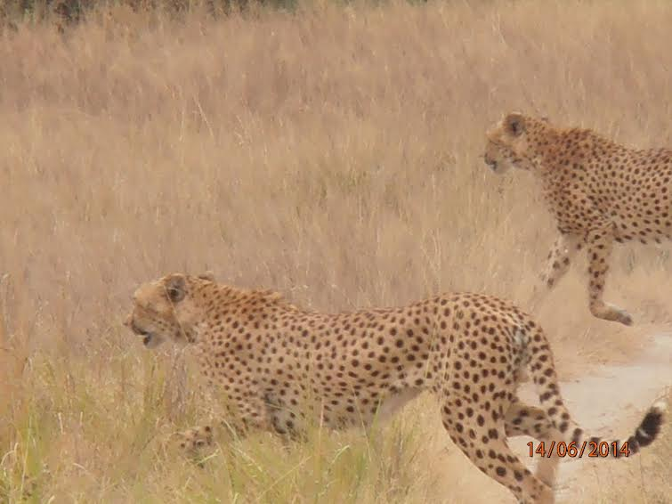 Бегущие гепарды