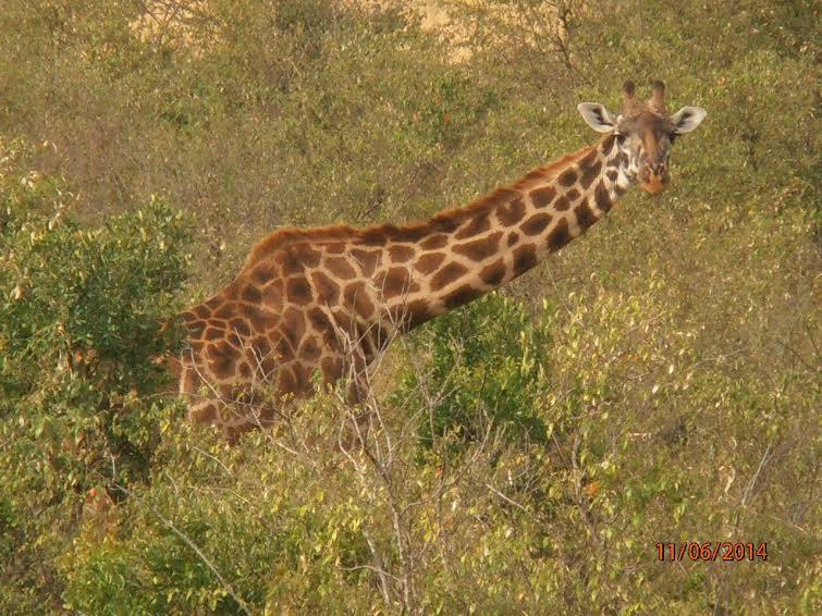В природном заповеднике Масаи-Мара