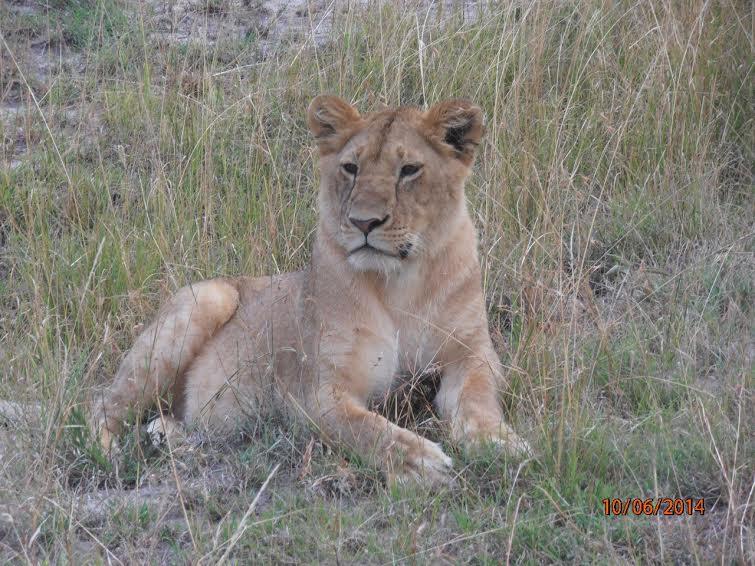 Кения. Сафари. Природный заповедник Масаи-Мара. Царь зверей