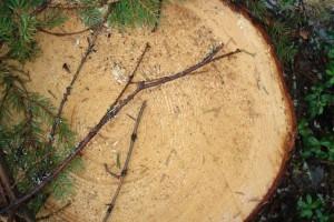 Срубленная в городском лесу 90-летняя ель