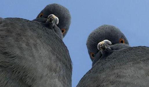 Голуби умеют отличать слова от бессмысленного набора звуков