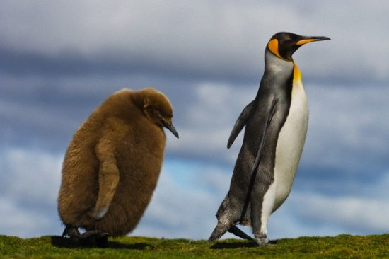 Falkland Islands --- King penguin chick following parent in the Falkland Islands --- Image by © Frans Lanting/Corbis