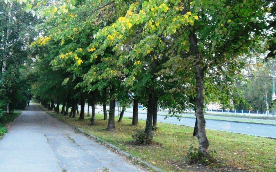 Озеленение улицы Варкауса выполнено по советским нормам. Фото Валентина Заверткина