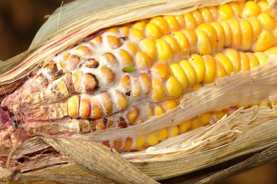 Плеснень Gibberella zeae на початке кукурузы. Фото: Scot Nelson