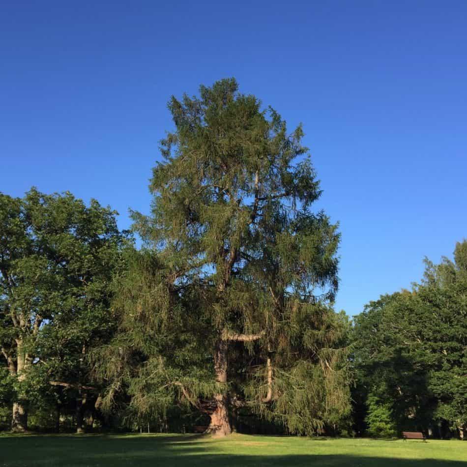 Старые деревья Тресканды. Фото Ларисы Хенинен