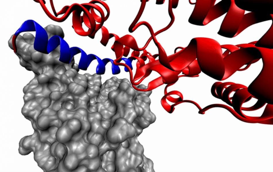 Комплекс белка-«шипа» и ACE2 по данным рентгеноструктурного анализа. Серым цветом показан ACE2-связывающий домен белка-«шипа», красным — ACE2, а синим — фрагмент ACE2, соответствующий SBP1