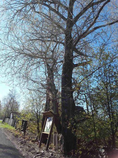 Эти деревья уже тоже снесены. Остались одни пни. Фото Екатерины Лобастовой