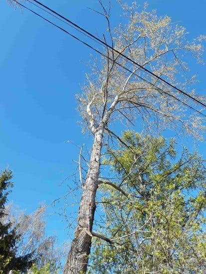 Дерево, которое угрожало линии электропередач, сейчас уже снесено. Фото Екатерины Лобастовой