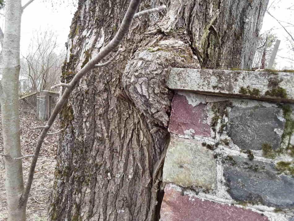 В ограду врос тополь. Теперь его спилили, остался лишь пень. Фото Екатерины Лобастовой