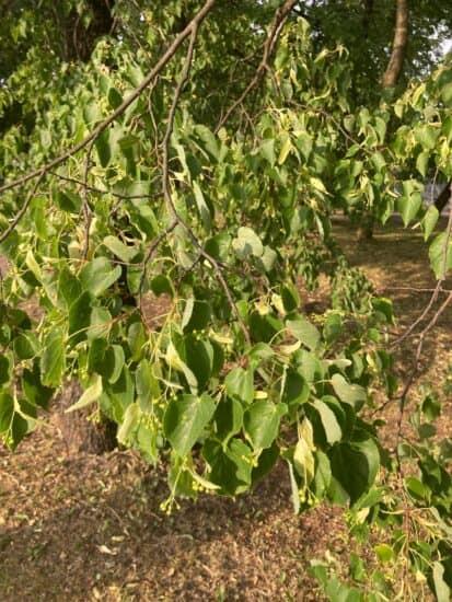 Скрученные листья липы. Губернаторский парк, 23 июня 2021 года. Фото Людмилы Морозовой