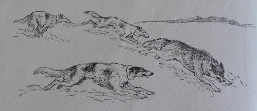 Травля волка борзыми. Рисунок Веры Амелунг