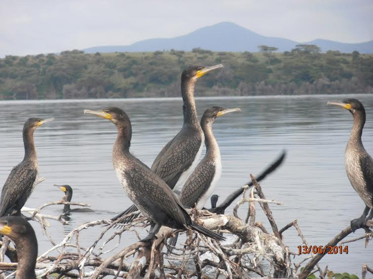 Кения. Озеро Найваша